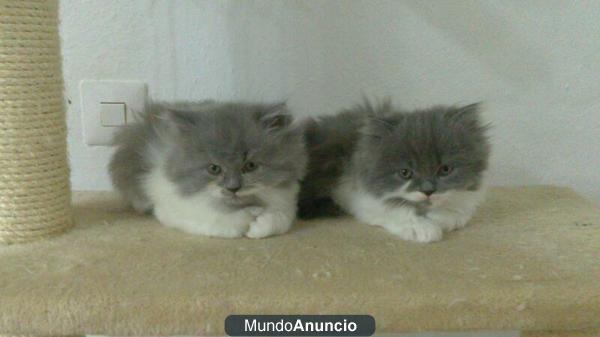 Gatos Persa Bicolor Mejor Precio
