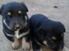 Cachorro pastor aleman, son de un particular - mejor precio   unprecio.es