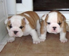 Cachorro bulldog francés para la venta perros bulldog francés para - mejor precio | unprecio.es