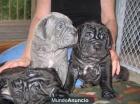 (Regalo)Cachorros mastín napolitano para - mejor precio | unprecio.es