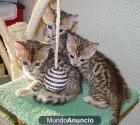 Bengali disponibles gatitos - mejor precio | unprecio.es