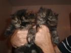 Vendo gatos persa - mejor precio   unprecio.es