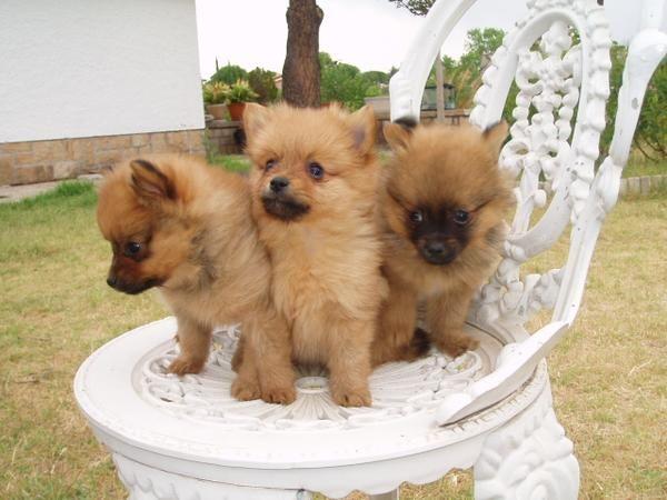El Rincon Del Cachorro Lulus De Pomerania Mejor Precio