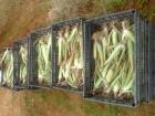 Venta de hijuelos de Aloe vera (Var. Barbadensis miller) - mejor precio | unprecio.es