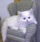Blanco gatito persa para su aprobación - mejor precio | unprecio.es