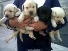 Labradores - mejor precio   unprecio.es