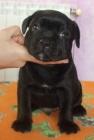 Cachorros de Staffordshire Bull Terrier - mejor precio   unprecio.es