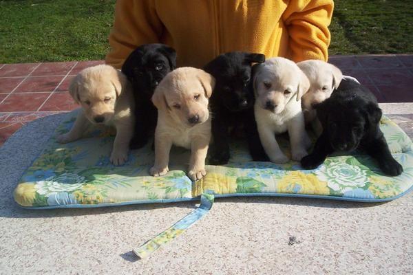 Labrador  retriever  cachorros dorados,  negros , chocolate Preciosa camada, se entrega a partir de los 2 meses. Somos u