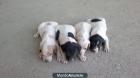 Cachorros pointer - mejor precio | unprecio.es