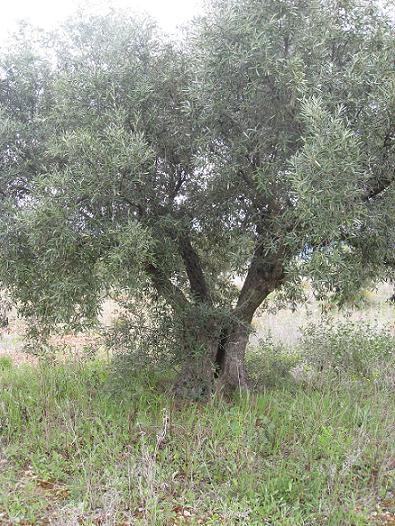 Venta de 150 200 olivos muchos de ellos centenarios de - Compra de olivos centenarios ...