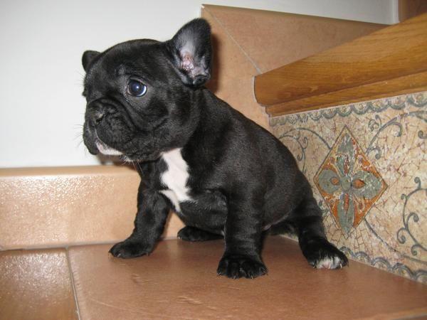 Bulldog frances un encanto particular se pueden ver en - Bulldog frances gratis madrid ...