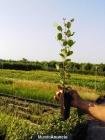 Plantas de algarrobo (ceratonia siliqua) - mejor precio   unprecio.es
