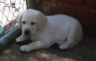 Cachorros de Labrador Retriever - mejor precio | unprecio.es
