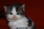 gatitos persa - mejor precio   unprecio.es