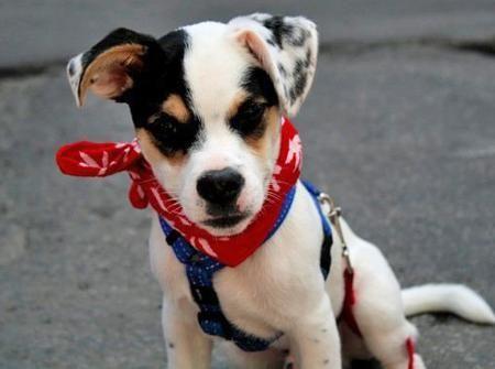 Toby el jack russell terrier mix mejor precio - Ardilla domestica precio ...