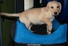 Adopcion Labrador Retriever - mejor precio   unprecio.es