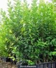 Plantas de aligustre para seto - mejor precio | unprecio.es