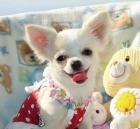Chihuahua Cachorros - mejor precio | unprecio.es