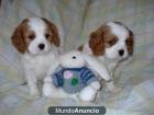 Regalo king charles spaniel cachorros - mejor precio | unprecio.es