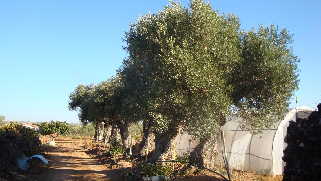 Se venden siete olivos centenarios
