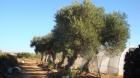 Se venden siete olivos centenarios - mejor precio | unprecio.es