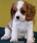 regalo Majestic deseados Cavalier King Charles Spaniel cachorros - mejor precio | unprecio.es