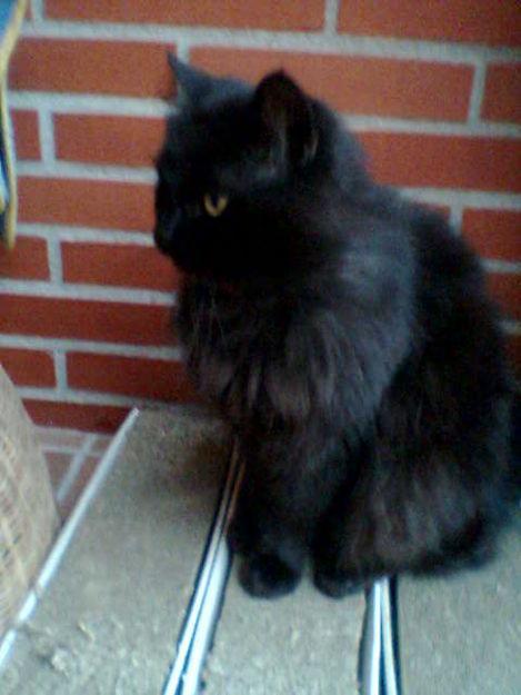 Busco Gato Persa Negro Mejor Precio
