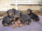 Se vende cachorros de doberman con pincher - mejor precio | unprecio.es