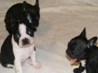 Camada de Bulldog Frances con pedigri (LOE) 100E - mejor precio | unprecio.es