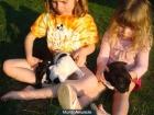 Bulldog Ingles Cachorro disponible - mejor precio   unprecio.es