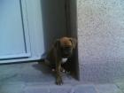 cachorritas de boxer - mejor precio | unprecio.es