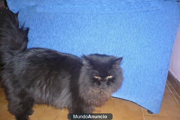 Ofrezco Gato Persa Negro Y Marr N Chocolate Para Montas