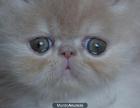 gatito persa crema muy bonito - mejor precio   unprecio.es