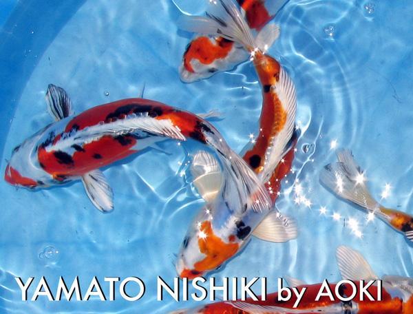 peces carpas koi japoneses grado a mejor precio