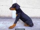 cachorro doberman macho - mejor precio | unprecio.es