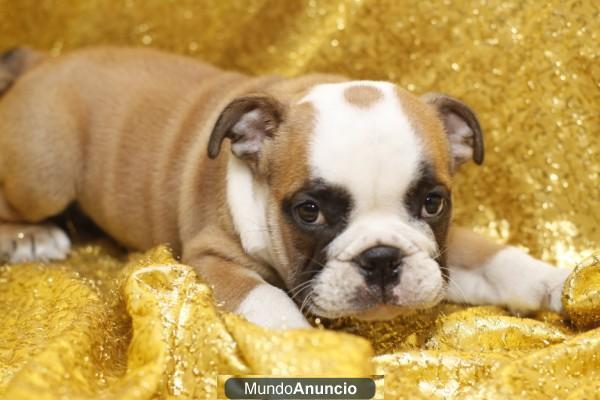 Bulldog Ingles en México en Venta de mascotas de