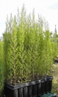 Plantas de ciprés y thuya para seto - mejor precio   unprecio.es