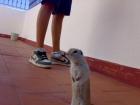 ardilla richardson(perrito de la pradera) - mejor precio | unprecio.es