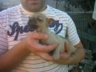 chihuahua hembra de gran calidad - mejor precio   unprecio.es