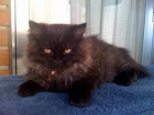 vendo gato persa - mejor precio   unprecio.es