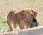 Cachorros Rhodesian Ridgeback - mejor precio | unprecio.es