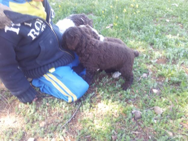 Vendo perros de agua color chocolate con dos meses y la for Vendo estanque para agua