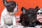 Camada de bulldog frances con pedigri rebajas 100euro - mejor precio | unprecio.es