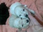 cachorritos de caniche enanos apricot con casi mes y medio mando fotos - mejor precio   unprecio.es