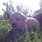 Se venden cachorros de 1 mes muy bonitos se vende por 80 euros - mejor precio   unprecio.es