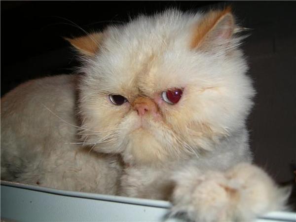 Cambio gato persa
