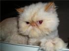 Cambio gato persa - mejor precio | unprecio.es