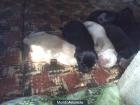 Cachorros Labradores - mejor precio   unprecio.es