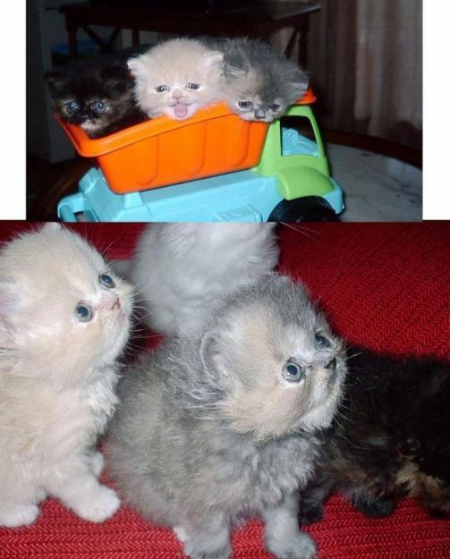 Se evnden 3 gatitos persas con pedigree
