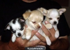 Adoption Regalo Chihuahua - mejor precio | unprecio.es